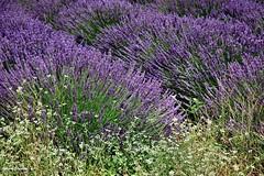 ... il profumo della lavanda (antosti) Tags: francia provenza valensole campo lavanda coltivazione nikon d70s perfume parfum