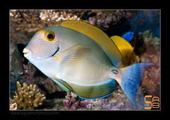 ALAIN2dussumieri6446 (kactusficus) Tags: marine reef aquarium alain captive ecosystem rcifal acanthuridae chirurgien surgeonfish tang acanthurus dussumieri