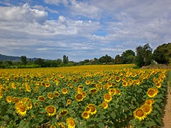 L'affaire tournesol (GéCau & Cie) Tags: gecau france provence tournesols sunflowers luberon cadenet vaucluse la fabrique 2011 landscape yellow nuages clouds