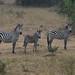 Common (Plains) Zebra (Equus quagga)