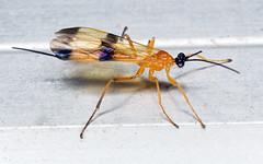 Ichneumon Wasp (Acrotaphus wiltii) (Ideaphore) Tags: ichneumon wasp