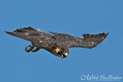 Dirty Looks (Peregrine Falcon) (Mitch Vanbeekum Photography) Tags: peregrinefalcon inflight flying female statelinelookout alpine nj newjersey mitchvanbeekum mitchvanbeekumcom canon14teleconvertermkiii canonef500mmf4lisiiusm canoneos1dx