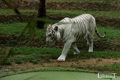Tigre blanc - Zoo La Fleche - 20160817 (0907) (laurent lhermet) Tags: sel55210 zoo zoodelafleche tigre tigreblanc