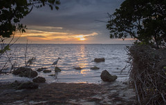 Fishing at Sunset (SteveFrazierPhotography.com) Tags: landscape seascape shore shoreline mangrove littleblueheron sunset evening clouds reflection water waves sand rocks cloudy poncedeleon historicalpark puntagorda charlotteharbor peaceriver charlottecounty southwestern florida fl stevefrazierphotography may 2016 trees roots brush seaweed shells gulfcoast gulfofmexico gulf summer nature waterscape