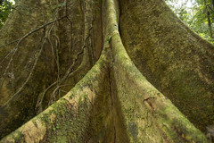 Gianttree - Primary Amazon rainforest (Hannes Rada) Tags: colombia amazon rainforest giant tree