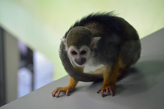 Squirrel Monkey (Laura.Kerr) Tags: saimirisciureus squirrelmonkey commonsquirrelmonkey monkey primate edinburghzoo