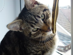 Mara ! (Mara 1) Tags: tabby stripes face indoors eyes whiskers m ear window