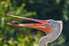 Pelican (pavel conka) Tags: pelicans pelikán birds pták nature fish ryba color conka animal pelecanus vodní water