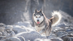 Artik (camel.arnaud) Tags: chien dog husky malamute matin morning contre jour lumire light