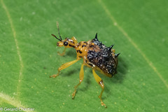 Attelabidae (Leaf Rolling Weevils) (GeeC) Tags: animalia arthropoda attelabidae beetles cambodia coleoptera curculionoidea insecta leafrollingweevils snoutbeetles specialistwalk tatai gallery kohkongprovince nature