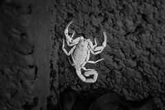 Ultra Violet Scorpion (EvanJawnson) Tags: scorpion desert bw black white insect macro detail nikon d7100 nikond7100 50mm nikkor arizona az phoenix bug nighttime blacklight uv