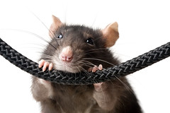 Pests Mice Rats Etc (British_Pest_Control_Association) Tags: rat grey mouse isolated white closeup funny ridiculous amusing pet nose snout eyes whiskers rope hang clutch paws portrait russianfederation