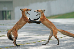 Fox Trot (marylee.agnew) Tags: red foxes siblings rivalry hierarchy nature dance fight conflict outdoor wildlife urban brothers