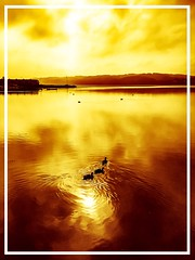 Three golden friends! #goldenlight #ducks #reflections #nature #water (flemminghansenfotografi888) Tags: gol ducks reflections natu wa goldenlight nature water