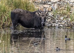 Mini-paddle bull moose (Patty Bauchman) Tags: moose bullmoose floatingislandlake yellowstonepark usnationapars wildlife nature lake