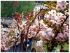 hanami2 (licorice_maty) Tags: sakura hanami jardin botanico