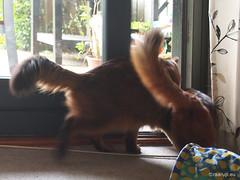 We're outta here... - for Happy Caturday (Finn Frode (DK)) Tags: cats exit door rags dusharatattersandrags caithlin dusharacathalcaithlin somali somalicat som olympus omdem5 denmark animal pet cat indoor happycaturday