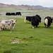 Iaques, as vacas da montanha