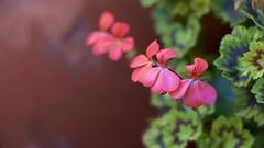 Pink Pot Geraniums (Warpstar Photography) Tags: bokeh flowers pink 50mm backyard beginner nature