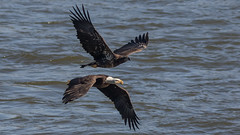 In Chase! (Ken Krach Photography) Tags: eagle susquehannariver