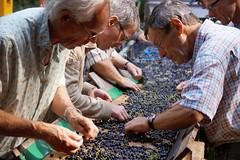 Sorting it out (Dannis van der Heiden) Tags: vinyard sorting bluegrapes winary aandebreedebeek nijkerk netherlands grapes winegrapes slta58 sigma18300mm