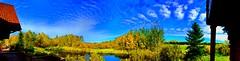 Golden autumn colours on Bluebird Estates series  (+7) (peggyhr) Tags: peggyhr slough trees clouds sky autumn blue golden yellow white bluebirdestates alberta canada