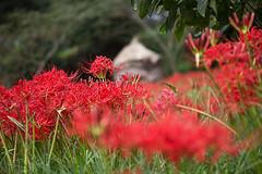 Red Spider Lily (mensore) Tags:    lycorisradiata redspiderlily  amaryllidaceae flower plant  satoyama landsape