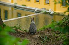 DSC_8816 (hectorhernandez9) Tags: conejo