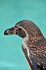 Humoldt Penguin 5