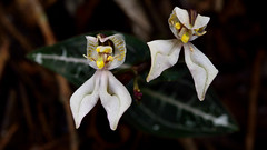 DisperisFH2_0797 20130328 1137 tripetaloïdes (evideerf2002) Tags: flower nature fleur réunion situ wildorchid orchidéesauvage disperis
