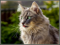 Waiting for the Easter bunny (FocusPocus Photography) Tags: portrait tongue cat canon garden grey feline chat kitty grau portrt gato katze garten kater fynn zunge longhaired coth 60d kittysuperstar kissablekat bestofcats kittyschoice catmoments langhaarkatze coth5 fynnegan