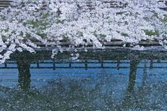 APRIL BLOSSOM (ajpscs) Tags: japan japanese tokyo spring nikon  cherryblossom  sakura nippon  kawagoe hanami  haru  d300   fullbloom shingawa seasonchange springblossom aprilblossom  ajpscs  awesomeblossoms mygearandme tokyo japan