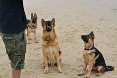 all obsessed (gomagoti) Tags: family portrait dog puppy shepherd pack german alsatian zara