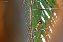 Framed (Dheeraj Tripathi) Tags: india birds bokeh mysore foreground coppersmith dheeraj hebballake dvk indianbirds berbet birdsinindiansubcontinent