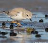 Feeding youngster (v4vodka) Tags: bird nature animal wildlife birding longisland birdwatching plover pipingplover charadriusmelodus westmeadowbeach pipingploverchick sieweczka siewka