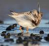 Preening (v4vodka) Tags: bird nature animal wildlife birding longisland birdwatching plover pipingplover charadriusmelodus westmeadowbeach pipingploverchick sieweczka siewka