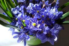 Wild Blue Spring Flowers (oshita946) Tags: flowers blue wild spring vase bouquet hepaticatranssilvanica cruceavoinicului mygearandmepremium