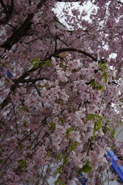 Sakura auto pic