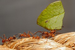 Leafcutter Ant procession (Rivertay07 - thanks for over 3 million views) Tags: rivertay ant hertfordshire stalbans butterflyworld leafcutterant copyrightprotected attacephalotes richardstead