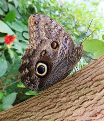 Owl Butterfly (Angela Farrington) Tags: world butterfly insect leeds butterflies lepidoptera finepix owl tropical owlbutterfly spec roundhaypark roundhay fujifinepix butterflyhouse tropicalworld specinsect tropicalworldleeds
