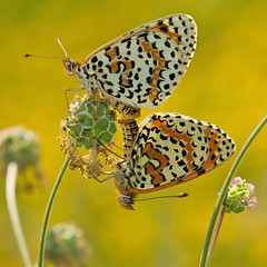 Spotted Fritillaries (Melitaea didyma) (Sinkha63) Tags: france macro nature animal butterfly square wildlife butterflies lepidoptera papillon mating martel fra fritillary pimprenelle nymphalidae midipyrnes spottedfritillary accouplement saladburnet sanguisorbaminor melitaeinae melitaeadidyma melitaea mlite incopula melitaeini didymaeformiadidyma mliteorange redbandfritillary petitepimprenelle