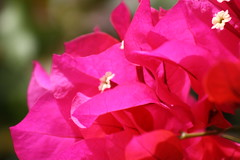 Bitty Bloom Bright Bracs (maorlando - God keeps me as I lean on Him!!) Tags: pink flowers usa white plant garden texas magenta bougainvillea hotpink springtx bracs