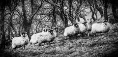 Baa-nd on the run (shotlandka) Tags: monochrome animal landscape sheep arran isleofarran catacol catacolglen