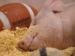 20130414-045-of-365 (Calgary Reviews) Tags: sleeping canada calgary piggy pig football bacon farm olympus pork sleepy lazy alberta tired swine piglet agriculture snout pigskin project365 aggiedays sooc olympuse3 olympus50200mm albertapork sleeplikeapig