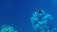marsa alam_19 (steph-55) Tags: fish redsea egypt olympus snorkeling fishes poisson egypte poissons marsaalam merrouge steph55 avril2013