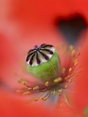 等下个季节  ♢  Awaiting For The Next Season (Anna Kwa) Tags: flower macro art nature marina singapore poppy papaversomniferum flowerdome gardenbyhebay