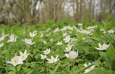 Photo of Wood Anemones