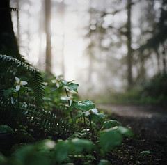 the quality of forest light (manyfires) Tags: morning film oregon forest sunrise mediumformat square portland spring woods hiking hike hasselblad trail pacificnorthwest pdx wildflowers pnw forestpark trilliums hasselblad500cm justkiddingkatie