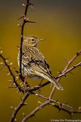 Meadow Pipit (peter orr photography) Tags: uk england birds fauna objects berkshire locations meadowpipit faunaandflora anthuspratensis greenhamcommon
