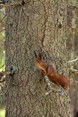 Orav; Sciurus vulgaris (urmas ojango) Tags: mammals mammalia sciurusvulgaris orav imetajad